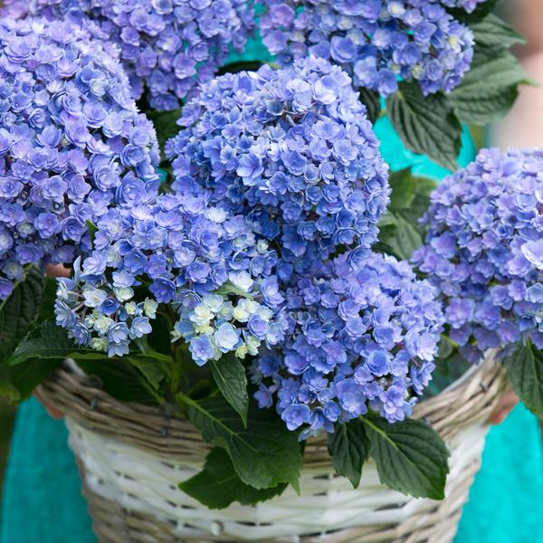 Hydrangea Double Flower Sensationâ Together